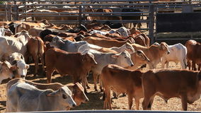 Cattle Cows in Sale Yard Pens. This is a clips of the Brahman Beef Cattle Cows in sale yard pens waiting for live export stock video footage