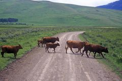 Cattle crossing dirt road, Centennial Valley, MT Royalty Free Stock Photography