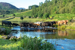 Cattle crossing the ford at Watendlath Tarn Stock Images