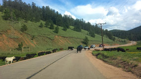 Cattle Crossing. Much of the southwest is open range where livestock roam freely.  Just outside of the town of Cripple Creek in Colorado, we stopped to wait Stock Photos