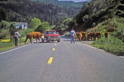 Cattle crossing road at cattle roundup, Ophir, OR Stock Image