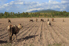 Cattle crowd. Eating cattle crowd on sunny day Royalty Free Stock Photography
