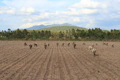 Cattle crowd. Thailand cattle crowd eating grass Royalty Free Stock Photography