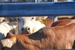 Cattle Crush Australia Royalty Free Stock Photography