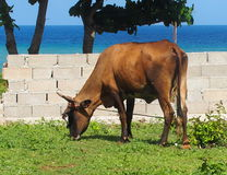 Cattle Of Cuba Stock Photo