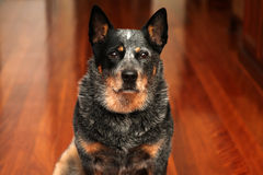 Cattle dog Stock Photography