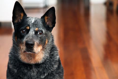Cattle dog Stock Images
