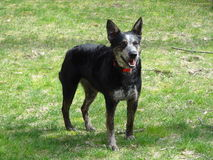 Cattle dog. Australian cattle dog in field Royalty Free Stock Images