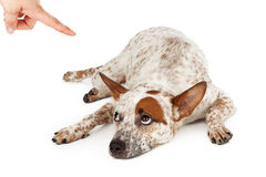 Cattle Dog Being Punished. An Australian Cattle Dog mixed breed laying down on the floor and rolling his eyes up at a finger being pointed at him as he is being stock image
