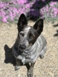 Cattle dog. A blue heeler cattle dog with its tongue out stock photos