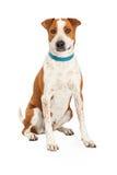 Cattle Dog Cross Blue Collar Stock Photo