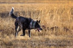 Cattle Dog in a Field. A cattle dog in a brown tall grass field at sunset Royalty Free Stock Photos