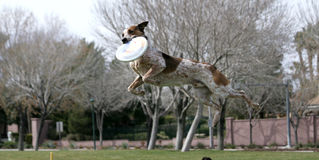 Dog in mid air catching a disk Royalty Free Stock Photos