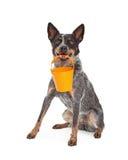 Cattle Dog Holding Orange Bucket Royalty Free Stock Photo