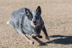 Cattle dog looking intent on catching a disc. Cattle dog running in the grass to catch a disc during a game of toss and fetch royalty free stock images