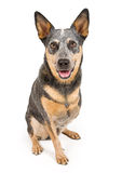 Cattle Dog Missing Leg Isolated on White Royalty Free Stock Photos