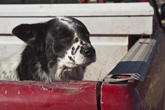 Cattle dog in ranchers pickup truck Royalty Free Stock Photography