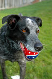Cattle Dog with Red and Blue Ball Royalty Free Stock Photos