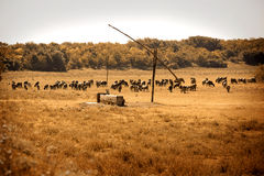 Cattle on dried field Stock Images