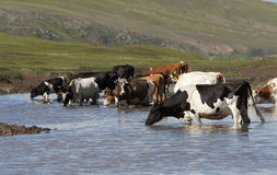 Cattle drinking Royalty Free Stock Image