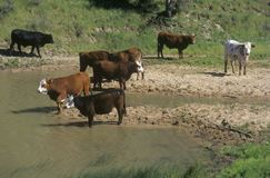 Cattle drinking out of stream, Central CA Royalty Free Stock Photo