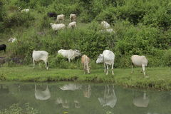 Cattle drinking polluted water Royalty Free Stock Image