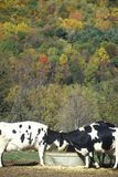 Cattle drinking from trough in Autumn on Route 7, CT Royalty Free Stock Photos