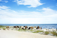 Cattle Drinking Water in Lake Malawi Stock Images