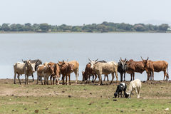 Cattle drinking water by the lake Stock Photos