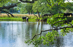 Cattle drinks from the river Lochay Stock Photos
