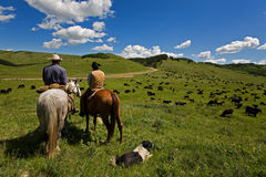Cattle drive. Two cowboys and there dog working with a large herd of cattle Stock Images