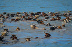 Cattle Drive across the Colorado River. In Matagorda, Texas Stock Images