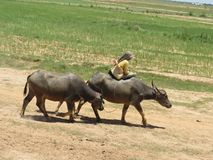 Cattle drive in cambobia royalty free stock images