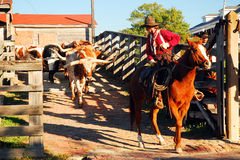 The Cattle Drive. A cowboy begins the cattle drive in Fort Worth Texas stock images