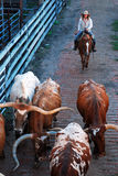 Cattle Drive Stock Image