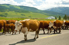 Cattle drive down middle of road. Royalty Free Stock Photos