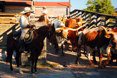 Cattle drive in Ft Worth Texas. A cattleman leads Texas longhorns from their pens in their daily march through the Ft Worth Stock Yards royalty free stock photos