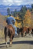 Cattle drive on Girl Scout Road, Ridgeway, CO Royalty Free Stock Image
