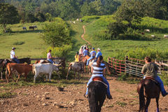 Cattle Drive Marriott Ranch in Virginia royalty free stock images