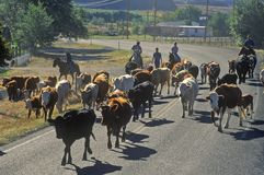 Cattle drive on Route 12, Escalante, UT Stock Photos