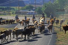 Cattle drive on Route 12, Escalante, UT stock image