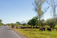 Cattle drive by side of road Stock Image