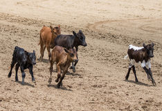 Cattle Drive Royalty Free Stock Photos