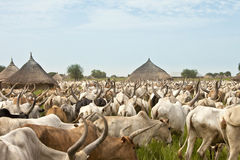 Cattle drive in South Sudan. Large cattle drive through a village in South Sudan Royalty Free Stock Photo