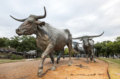 Cattle drive statue in the city of Dallas Stock Image
