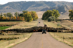 Cattle Drive and Traffic Jam. A cattle drive down a highway in Wyoming results in a minor traffic jam Stock Photos
