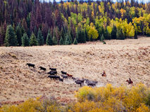 Cattle Drive Royalty Free Stock Image