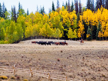Cattle Drive Stock Photography