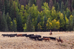 Cattle Drive Royalty Free Stock Images