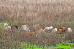Cattle in dry swamps with dry grass background royalty free stock photography